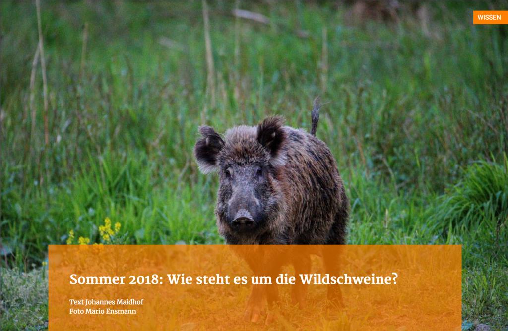 Sommer 2018: Wie steht es um die Wildschweine?